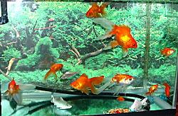 2008嬉野3・ホテルの金魚.JPG