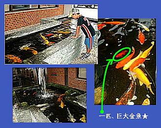 2008嬉野3・ホテルの鯉.JPG