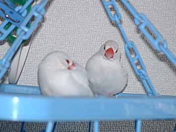 200909文鳥.JPG
