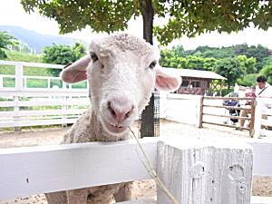 20120519 羊1.jpg